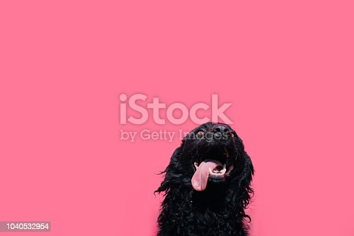 Portrait of a cute black sheepdog against a pink background