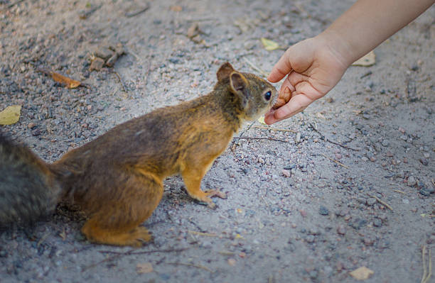 Confident Squirrel eating from hand stock photo