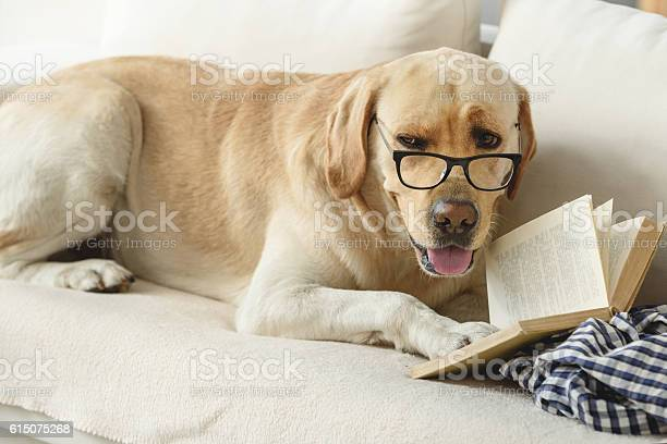 Confident student puppy studying on the couch picture id615075268?b=1&k=6&m=615075268&s=612x612&h=k87anzwcxirx3gqeoqwtkp9vw7zliycgu6sa1p371kk=