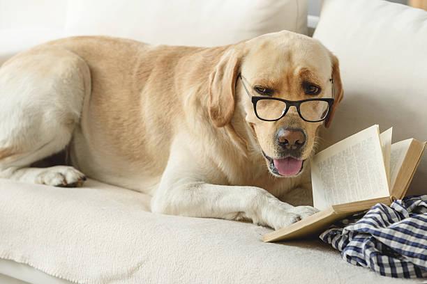 confident student puppy studying on the couch - humor bücher stock-fotos und bilder