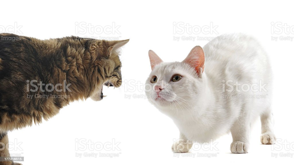 conflict between cats stock photo