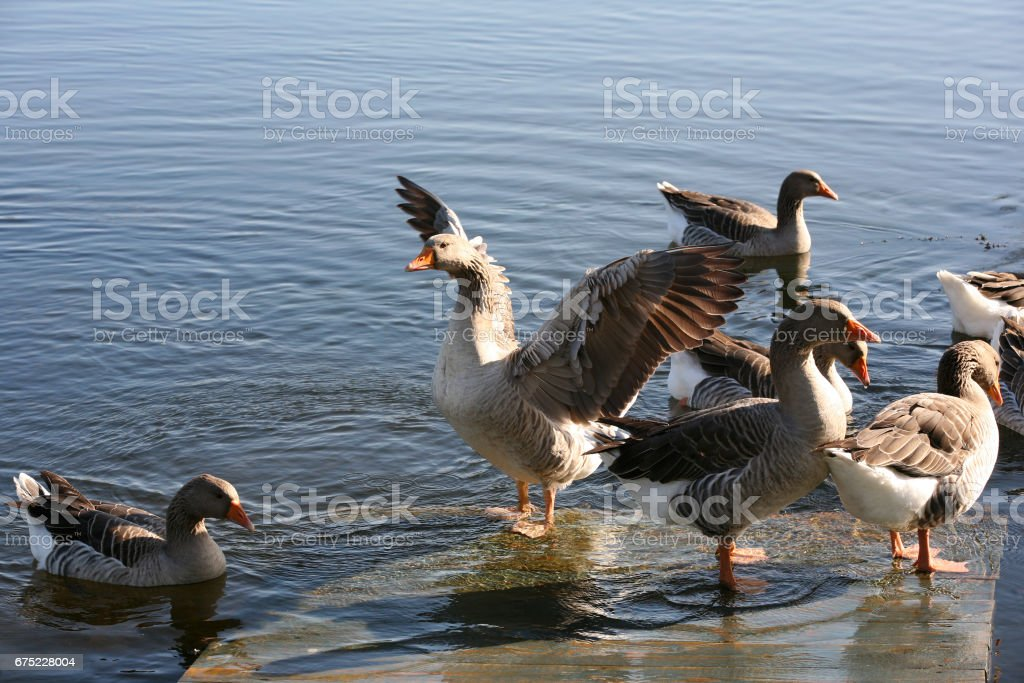 Congestion of geese on a coast of the river royalty-free stock photo