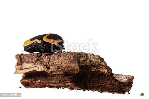 Congo Rose Beetle. Pachnoda marginata isolated on white
