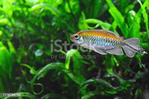 Aquaria; single swimming congo tetra fish ( Phenacogrammus interruptus) with rainbow colors.In the background green water plants.
