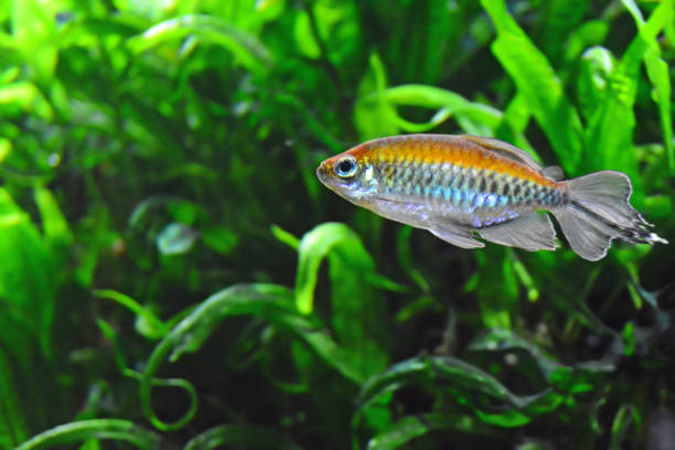 Congo tetra Aquaria; single swimming congo tetra fish ( Phenacogrammus interruptus) with rainbow colors.In the background green water plants. freshwater fish stock pictures, royalty-free photos & images