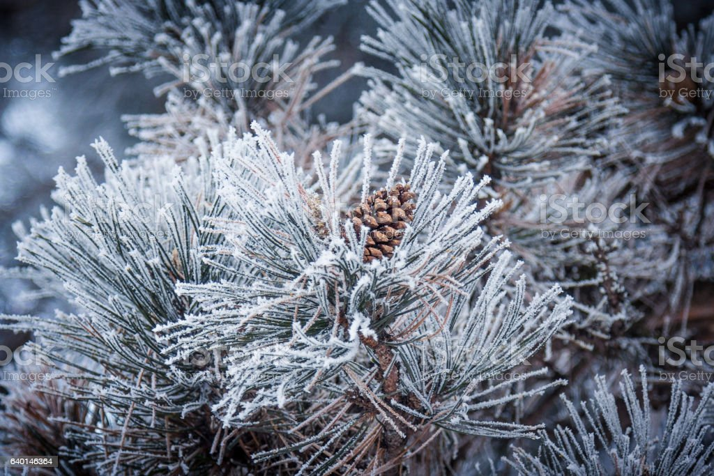 Conifer cone of a frozen pine tree in winter stock photo