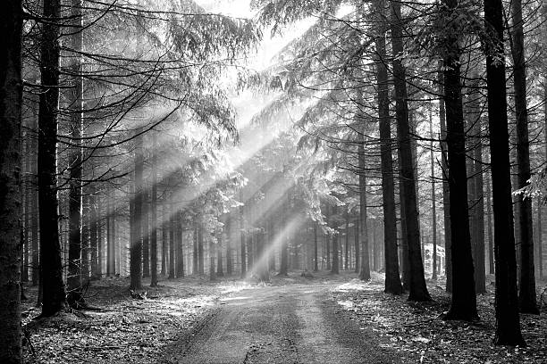 Conifer forest in the fog, with sun peeking through trees stock photo