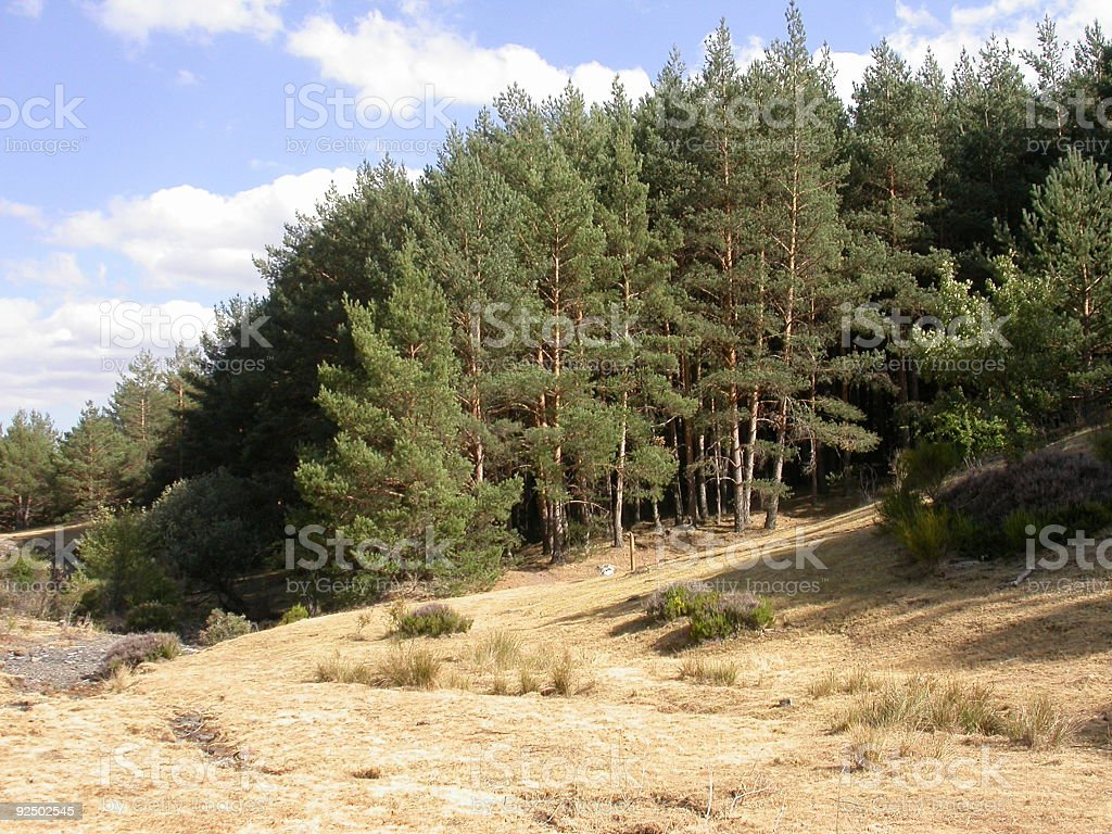 conifer forest royalty-free stock photo