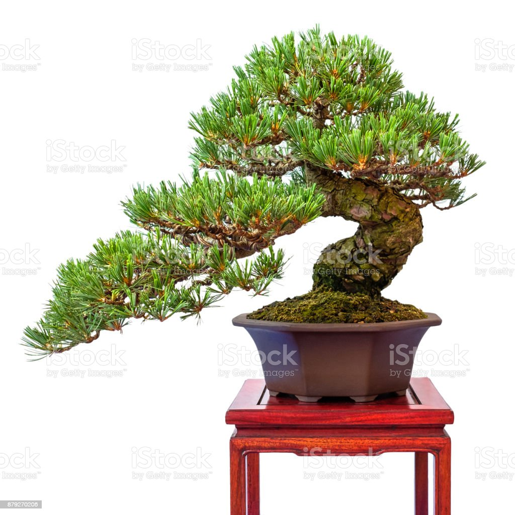 Conifer Japanese White Pine As Bonsai Tree Stock Photo Download Image Now Istock
