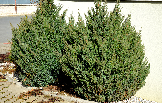background, botanical, branch, bush, chinensis, chinese, close up, communist architecture, compressa, coniferous, cultivate, decor, decorative, dense, design, detail, environment, evergreen, evergreens, flora, flower bed, foliage, garden, gardens, green, juniper, junipers, juniperus, landscape, landscaping, leaf, low, luxury, miniature, natural, needle, old, ornamental tree, outdoor, plant, pretty, pyramidalis, residential, shrub, street, stricta, texture, two, white, wide