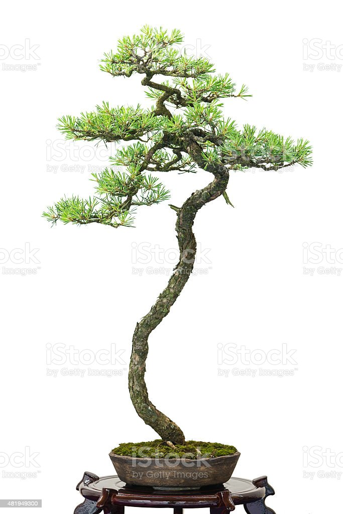 Conifer Pine As Bonsai Tree Stock Photo Download Image Now Istock
