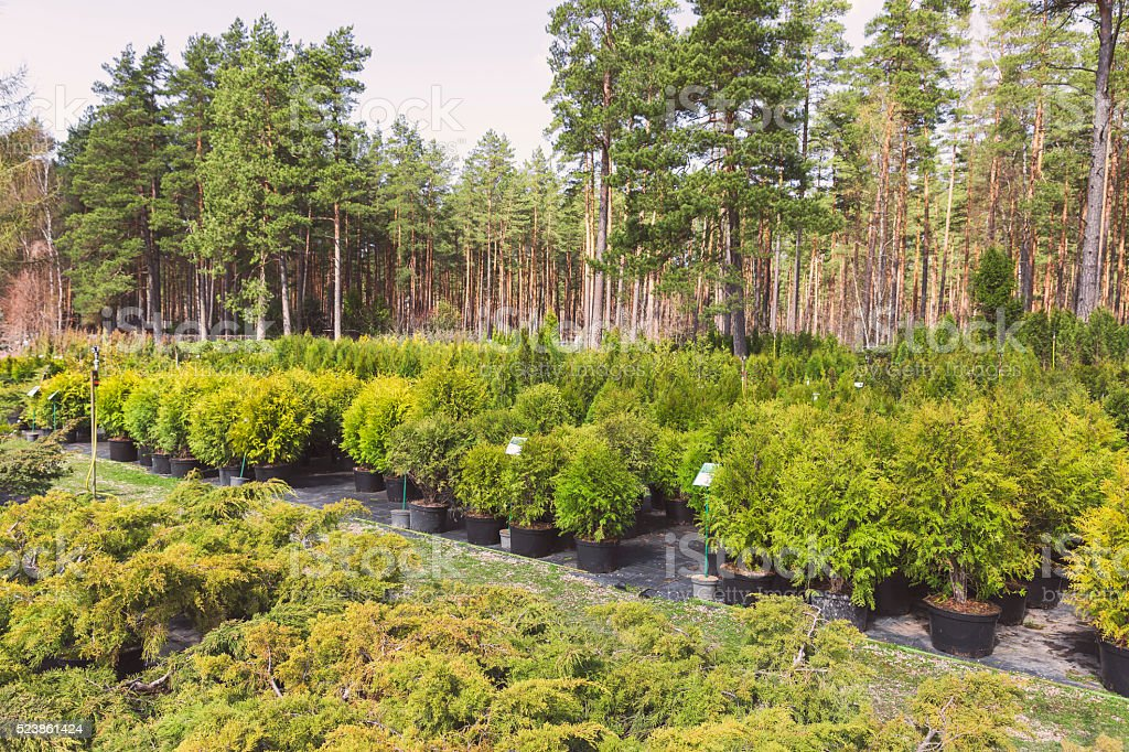 conifer plants in pots at outdoor tree nursery stock photo
