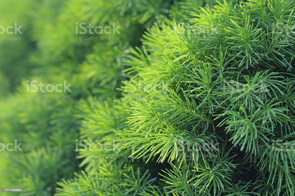 Conifer tree background stock photo