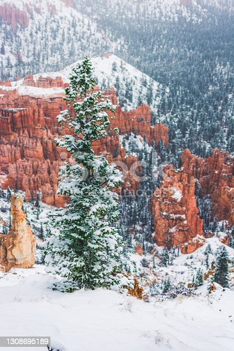 Conifer tree in snow Bryce National Park in winter, snow, panorama (Utah, Usa)