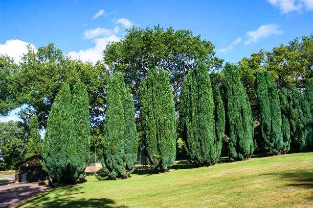 conifer trees - cypress tree stock photos and pictures