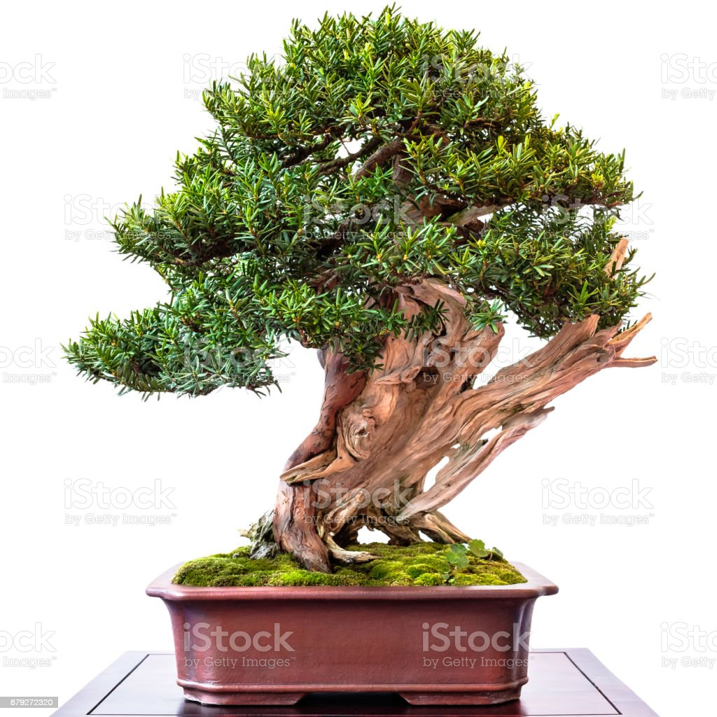 Conifer Yew As Bonsai Tree Stock Photo Download Image Now Istock