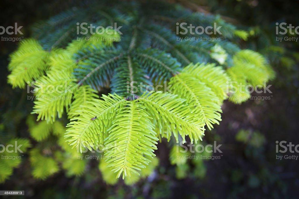 Coniferous branch royalty-free stock photo