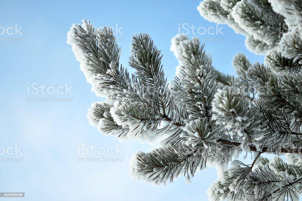 Coniferous branch stock photo