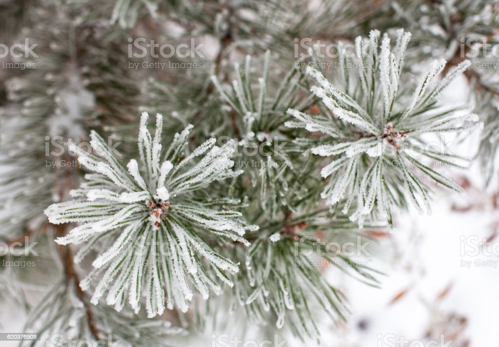 Coniferous branches covered with hoarfrost zbiór zdjęć royalty-free