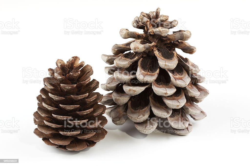 Coniferous cones royalty-free stock photo