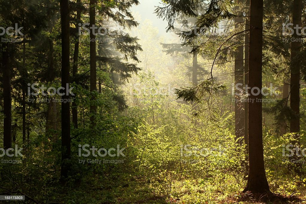 Coniferous forest at dawn royalty-free stock photo