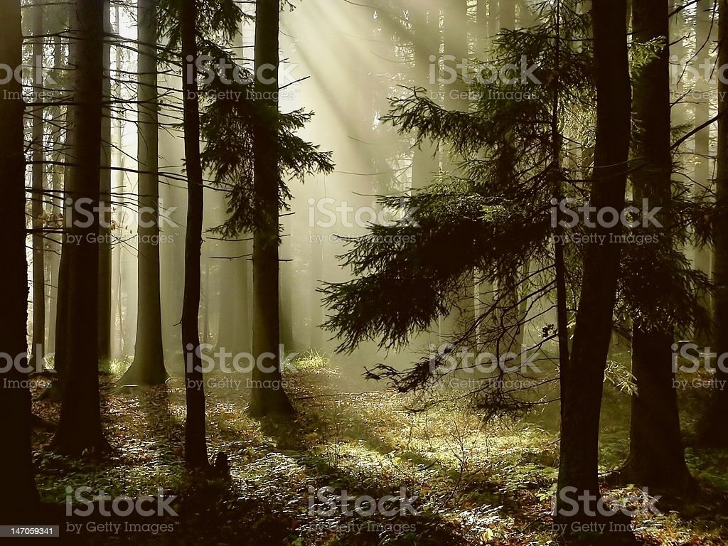 Coniferous forest at sunrise royalty-free stock photo