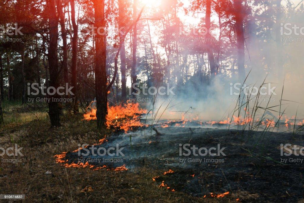 Bosque de coníferas en el fuego - foto de stock