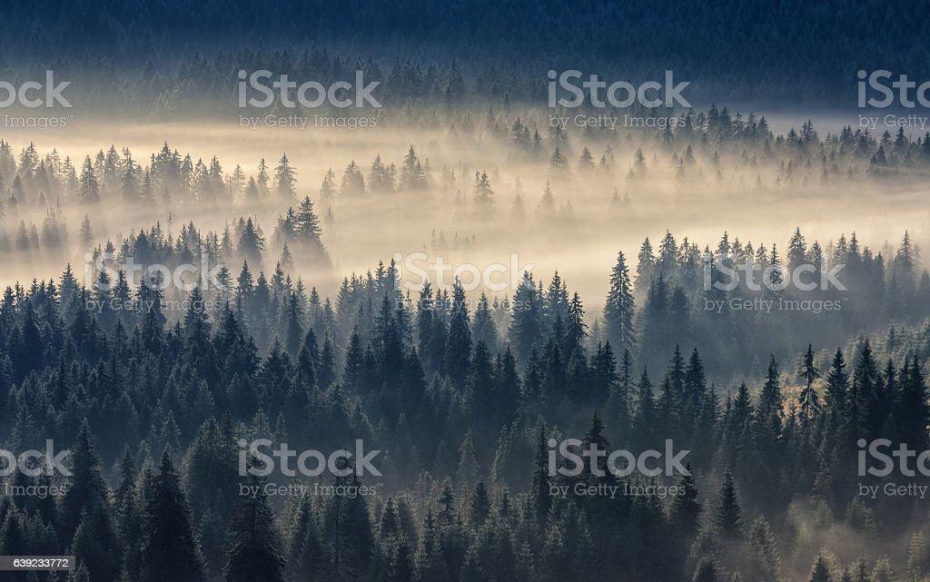 coniferous forest in foggy mountains stock photo