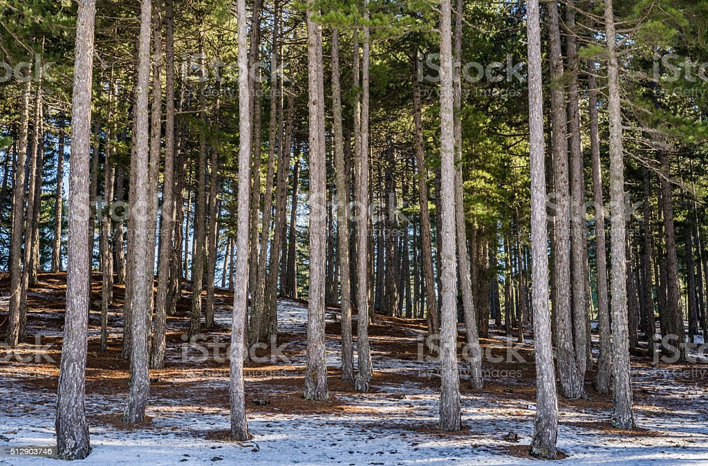 Coniferous  Forest in snow stock photo