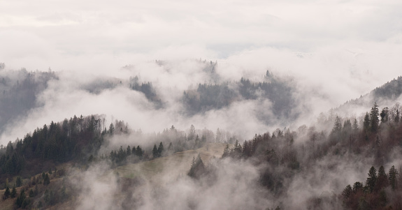 Coniferous forest in the fog.