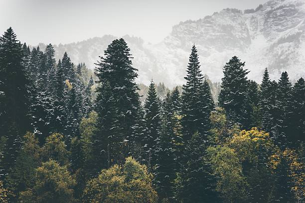 Coniferous Forest Landscape mountains on background Travel – Foto