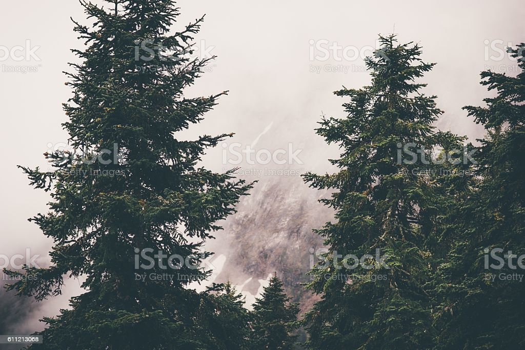 Coniferous Forest Landscape with foggy mountains on background stock photo