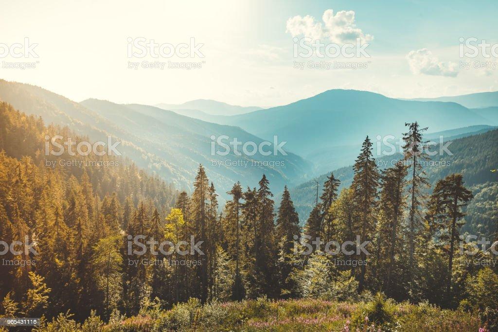 Coniferous forest on the Carpathians background zbiór zdjęć royalty-free