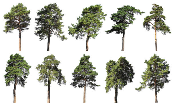 coniferous forest. pine, spruce, fir. set of isolated trees on white background - pine tree stock photos and pictures