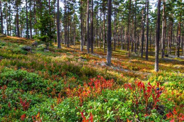 barrskog med blåbär på hösten - pine forest sweden bildbanksfoton och bilder