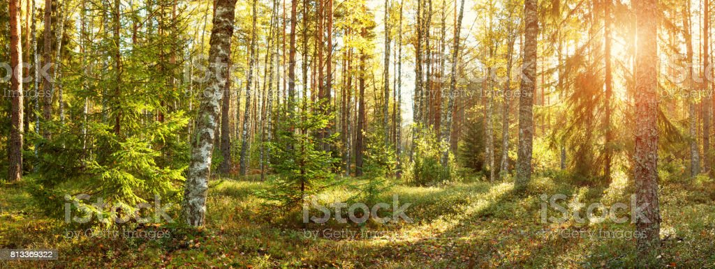 Coniferous forest with morning sun shining stock photo