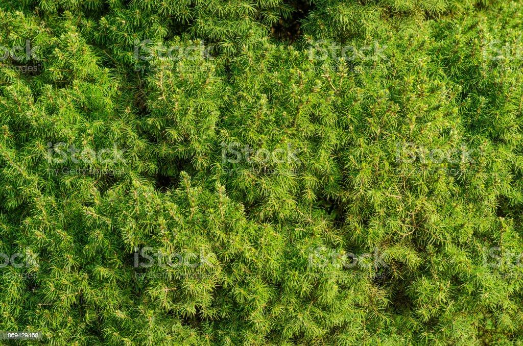 Coniferous green background stock photo