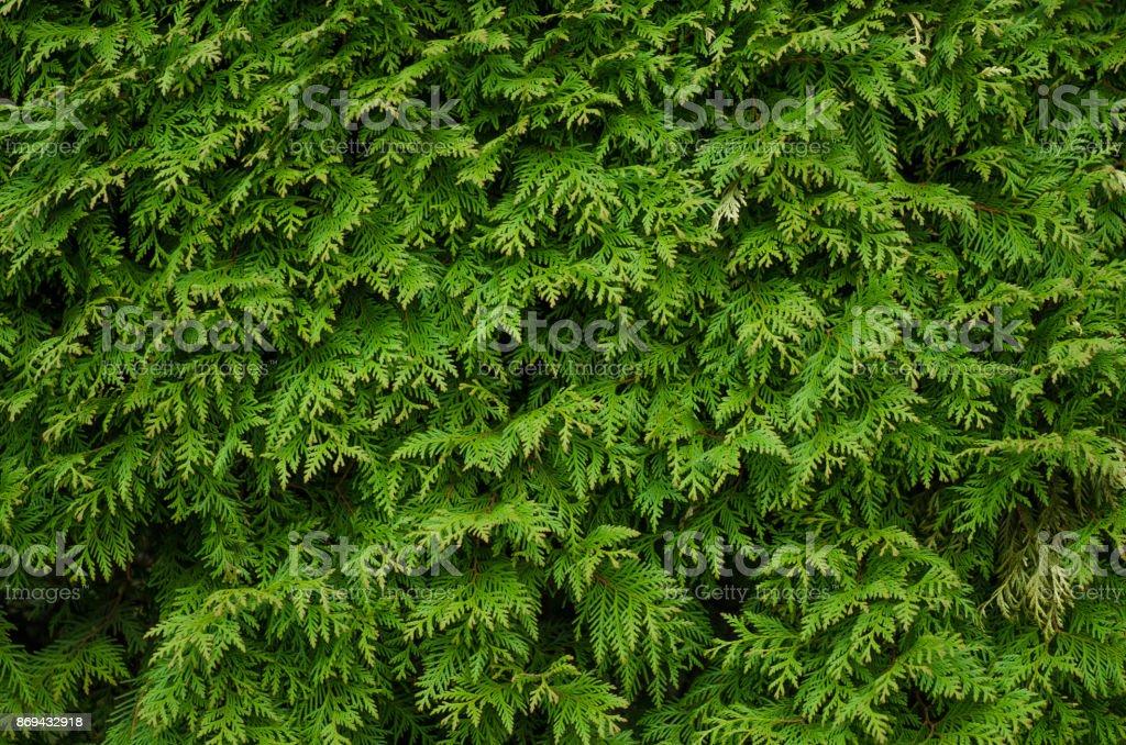 Fondo verde conífera - foto de stock