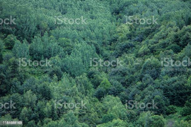 Photo of Coniferous green trees in a forest on a mountainside.