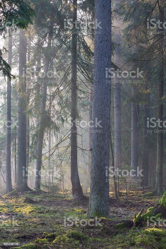 Coniferous stand of Bialowieza Forest in morning stock photo