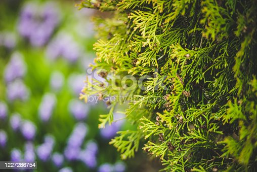 Coniferous thuja tree in the garden against the background of flowers-close-up. Summer nature