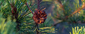 coniferous tree branch with a cone on a summer day in the forest, close up