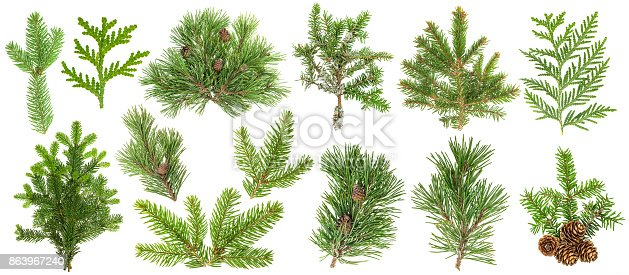 Evergreen coniferous tree branches isolated on white background. Spruce, pine, thuja, fir, cone. Set collection