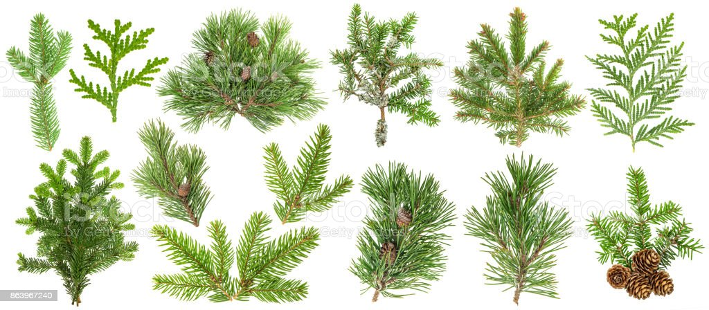 Coniferous tree branches Spruce pine thuja fir cone set stock photo