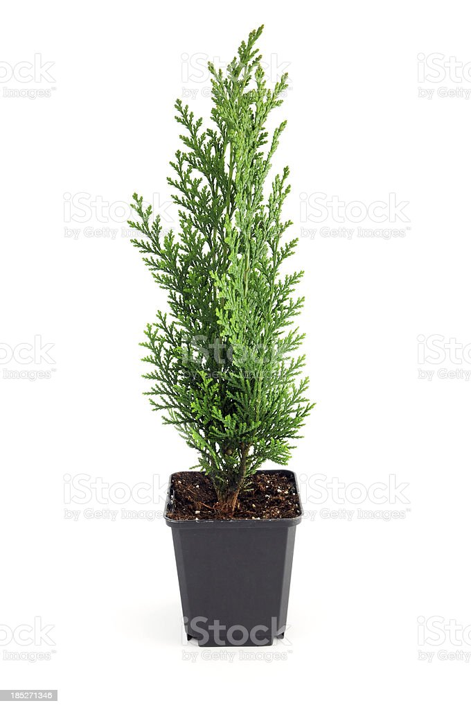 Coniferous tree hedge in flower pot at white isolated background stock photo
