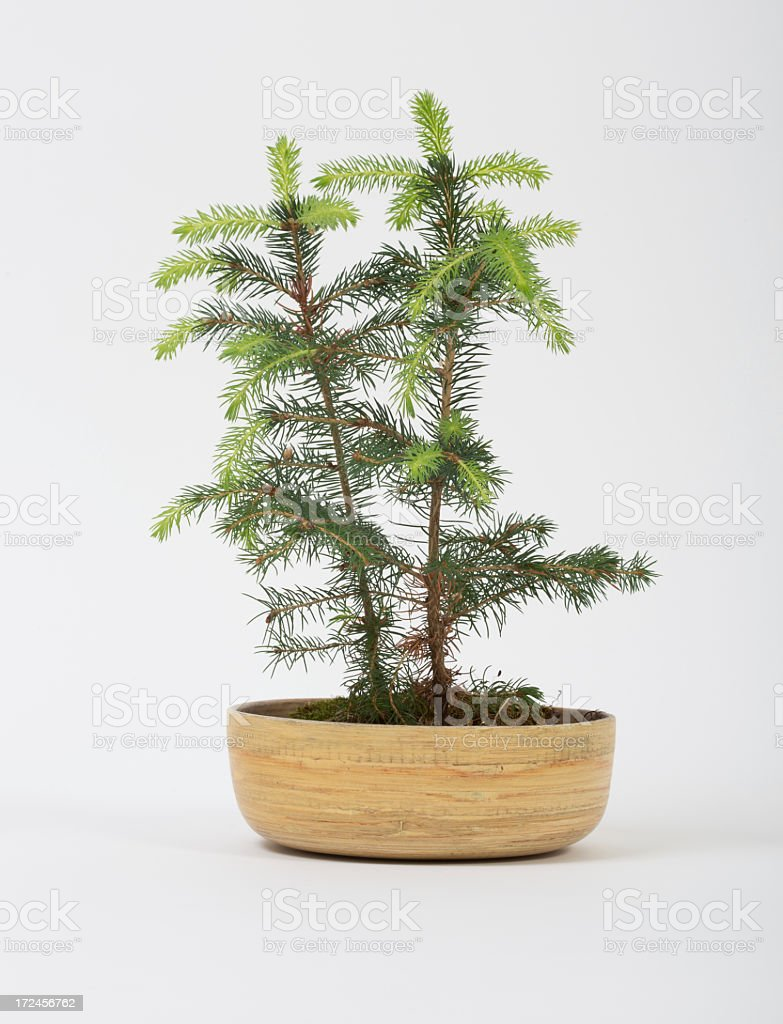 Coniferous Tree in a wooden pot royalty-free stock photo