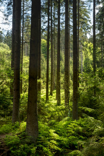 Coniferous trees in native forest Taken in Silberbachtal, Horn-Bad Meinberg, Teutoburg Forest, North Rhine Westphalia, Germany, Europe. lower saxony stock pictures, royalty-free photos & images