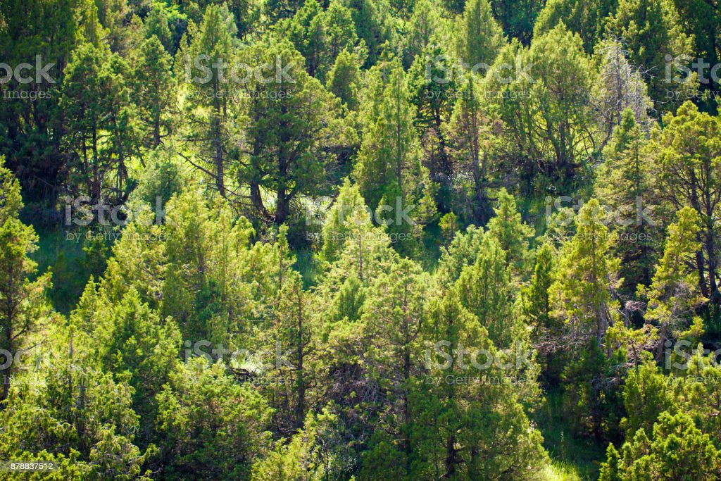 coniferous trees in the mountains in Kazakhstan stock photo