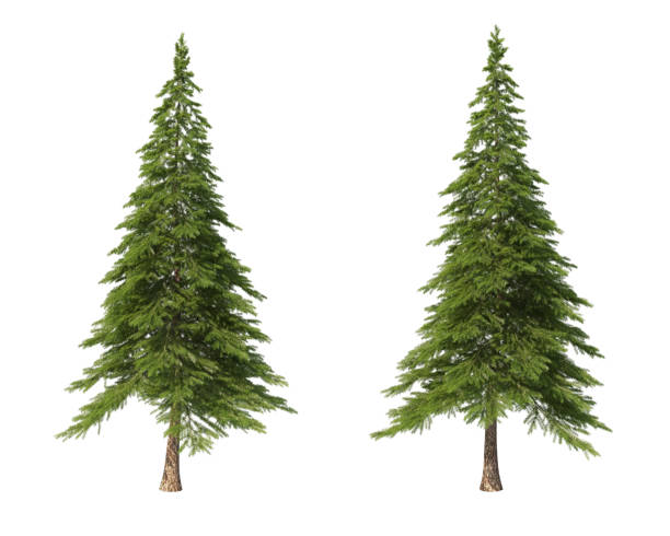 arbres de conifère sur un fond isolé. épicéa. - pin photos et images de collection