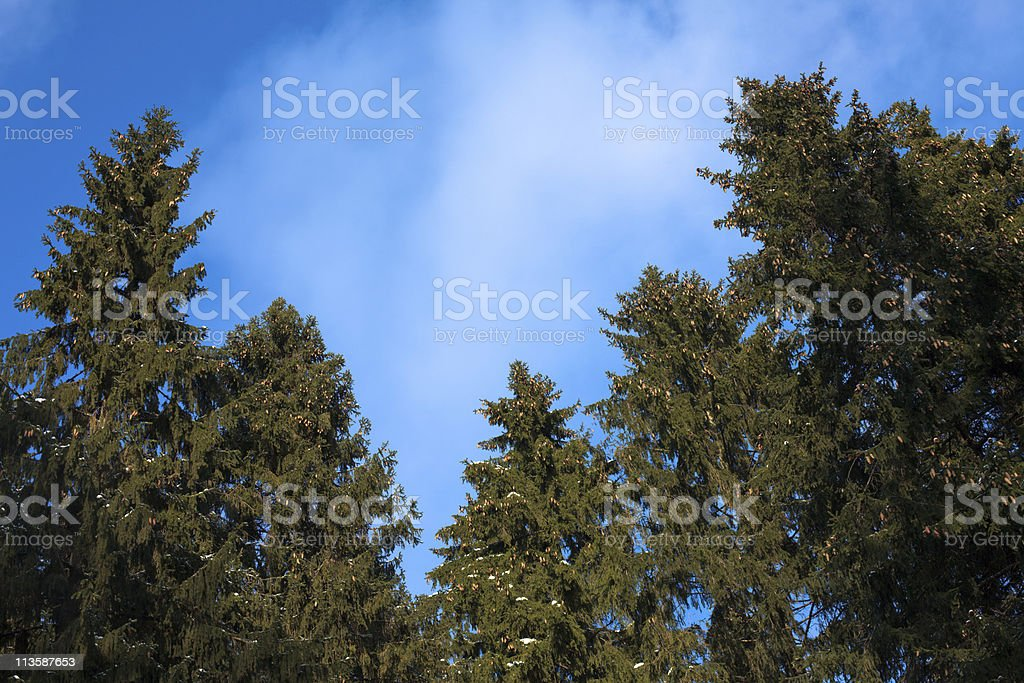 Conifers Against Blue Sky stock photo